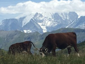 alpine cows with bells
